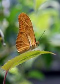 Butterfly Dryas Iulia's Spotted Eyes and Curled Proboscis
