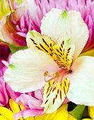 Close up macro image of alstromeria or Peruvian lilly