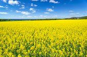Landscape View Of Flowering Rape Field Under Blue Cloudy Sky Near Sea. Colorful Rapsfield Raps. Swed poster