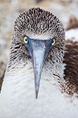 Blue-footed Booby Portrait