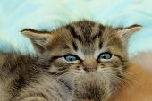 Cute Little Kitten, Close Up. Tabby Kitten Lying Indoors, Cropped Shot. Animals, Pets Concept. poster