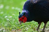 Close Up Of A Melanistic Mutant Pheasant Scavenging On The Ground poster