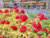 Beautiful Red Celosia Flower
