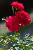 Close Up Of Orange Rose.