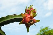 Dragon Fruit In Garden