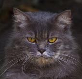 Close Up Face Of  Persia Cat