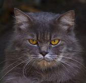 Close Up Face Of  Persia Cat