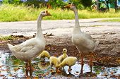 stock photo of mother goose  - small ducklings in group with the mother - JPG