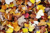 Fall Yellow And Red Leaves poster