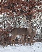 Whitetail buck and doe
