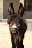 foto of headstrong  - Portrait of young yawning donkey in Nubra valley - JPG