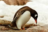 Single Gentoo Penguine, Antarctica