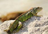 Sunning Green Iguana (iguana Iguana)