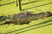 Alligator Lurking In An Algae Filled Lake Profile