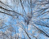 Crown of a trees covered with hoar frost in winter forest, overhead view