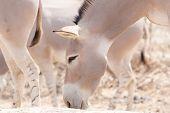 Somali wilde Esel