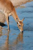 Gazelle trinken