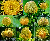 Common Pincushion