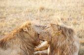 Lions Resting After Plentiful  Feeding