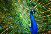 stock photo of indian peafowl  - Proud male Asian peacock shows off his fascinating plumage - JPG