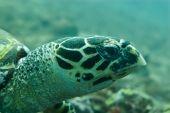 Hawksbill Turtle Looking Forward