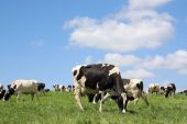 picture of quadruped  - Grazing black and white Holstein-Friesian dairy cows in a sunlit pasture against a blue sky.