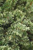Plain Christmas Pine