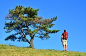 Hiker Looking at Pine Tree