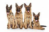Four Funny Shepherd
