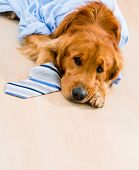 Cute dog in a business suit looking very tired