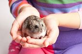 foto of hamster  - Djungarian hamster in girl hands - JPG