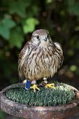 The Common Kestrel (falco Tinnunculus)