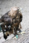Golden Eagle (aquila Chrysaetos) In Captivity
