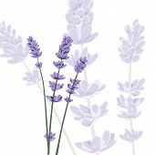 Lavender On Isolated Background, Vector