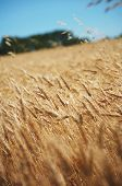 picture of prairie  - A field of wheat blowing in the wind on a warm summer day on the prairies - JPG