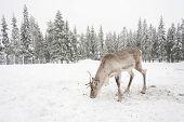 White Reindeer Eat On Snowy Field