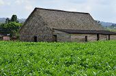 A tobacco plantation on Cuba