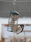 beautiful woodpecker at feeder