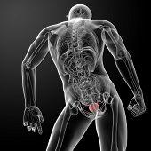 3d render bladder anatomy