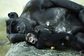 Common Chimpanzee (pan Troglodytes) With A Cub