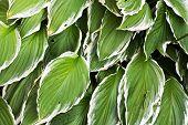 Big Hosta Or Funkia Leaves