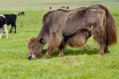 Grazing Brown Yak