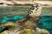 picture of french polynesia  - Sea turtle sanctuary at Bora Bora - JPG