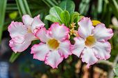 stock photo of desert-rose  - Beautiful pink azalea flowers tropical flowers - JPG