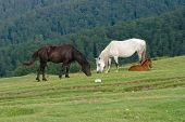 two horses and foal grazing in