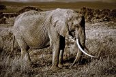 foto of tusks  - Old African elephant in sepia with long tusks