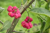 Bright Fruit Euonymus In September