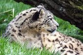 picture of panthera uncia  - Snow leopard resting looking away from the camera