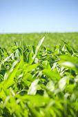 Very Green Corn Field.