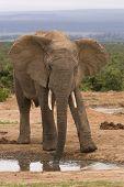 Lone bull elephant standing at a waterhole